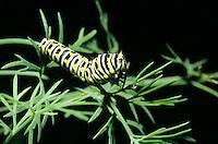 LARVAL LEPIDOPTERAN (CATERPILLAR)<br /> Black Swallowtail Butterfly Larva Feeding On Dill
