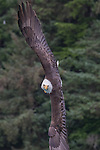 USA, Alaska , Glacier Bay National Park , bald eagle (Haliaeetus leucocephalus)