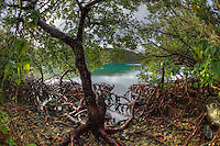 Mangroves in Hurricane Hole<br /> St. John<br /> U.S. Virgin Islands