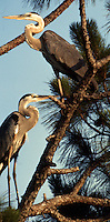 A pair of Blue Herons in a pine tree, Merrit island, FL.  (Photo by Brian Cleary/www.bcpix.com)
