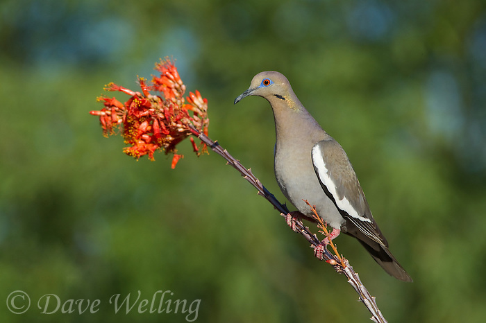 518240026 a wild white-winged dove enaida asiatica perches on a flowering ocotillo plant foqueria splendens in green valley arizona