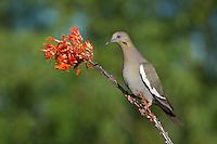 518240026 a wild white-winged dove enaida asiatica perches on a flowering ocotillo plant foqueria splendens in green valley arizona