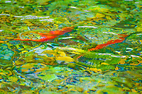 Salmon swimming up the Tobacco River to spawn. The rippling water creates a colorful  abstract work of art.