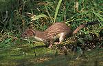 Stoat, Mustela erminea, in pond, wet, captive, fierce predator,.United Kingdom....