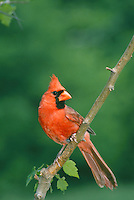 Male northern cardinal perched on branch with new spring leaves in world of green