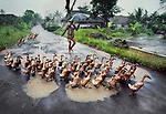 INDONESIA-10003NF, Herding ducks, Java, Indonesia, 1984<br /> <br /> Monsoon_Book