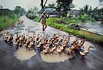 00536_14, INDONESIA-10003NF, Herding ducks, Java, Indonesia, 1984<br /> <br /> Monsoon_Book