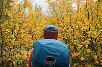 Hiker with backpack surrounded by yellow autumn birch forest, Kungsleden trail, Lapland, Sweden