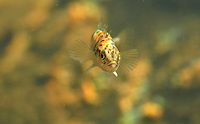 Ninespine Stickleback<br />