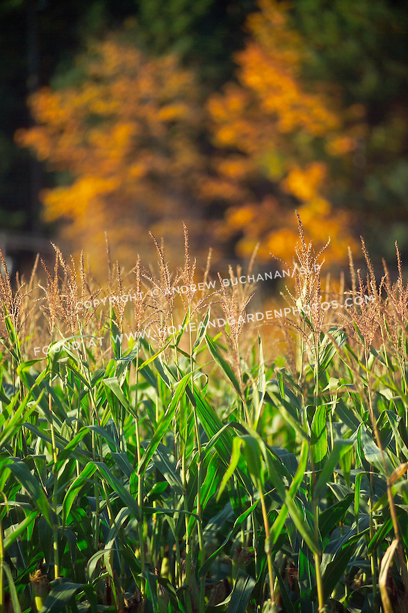 shallow focus image of corn stalks glowing in the late afternon sunshine with a tree ablaze with fall leaf color in the soft background in Washington State