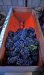 Zinfandel grapes ready for crushing