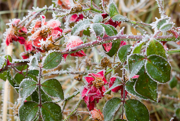 Rosa Suffolk ('Kormixal') roses in winter frost snow ice on plant leaves and flowers