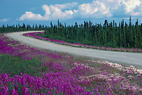 Fireweed (Epilobium angustifolium) and Boreal Black Spruce (Picea mariana) Forest along Dempster Highway (Hwy 5), YT, Yukon Territory, Canada