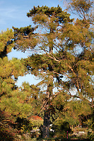 Corsican Pine, Pinus nigra subsp. laricio, 1774, Jardin de l'Ecole de Botanique (garden of the botanical school), Jardin des Plantes, Paris, 5th arrondissement, France. Tree top was destroyed in the 19th century. Founded in 1626 by Guy de La Brosse, Louis XIII's physician, the Jardin des Plantes, originally known as the Jardin du Roi, opened to the public in 1640. It became the Museum National d'Histoire Naturelle in 1793 during the French Revolution. Picture by Manuel Cohen Picture by Manuel Cohen