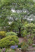 Black Oak Tree, Quercus kelloggii and evergreen manzanita shrubs in front yard of Kyte California native plant garden