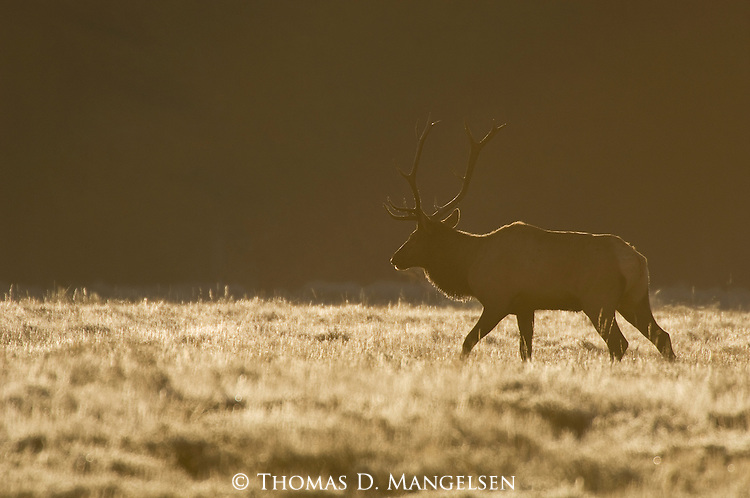 A bull elk is backlit in the autumn evening light in Grand Teton National Park, Wyoming.