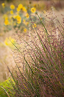 Panicum virgatum switchgrass purple flowering grass in autumn at Porter Plains Garden meadow at Denver Botanic Garden