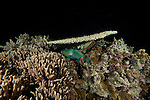 Parrotfish (Scarus sp.)sleeping under a plate coral at night.