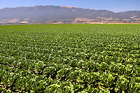 A lettuce Field, Salinas Valley, CA.