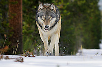 Wild GRAY WOLF (Canis lupus).  Greater Yellowstone Area.  Fall.  Ponderosa pine trees and fire killed snag in background.