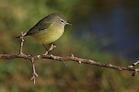 Adult - Small songbird; medium-sized warbler. Dusky olive-green overall. Faintly streaked chest. Yellow under tail.