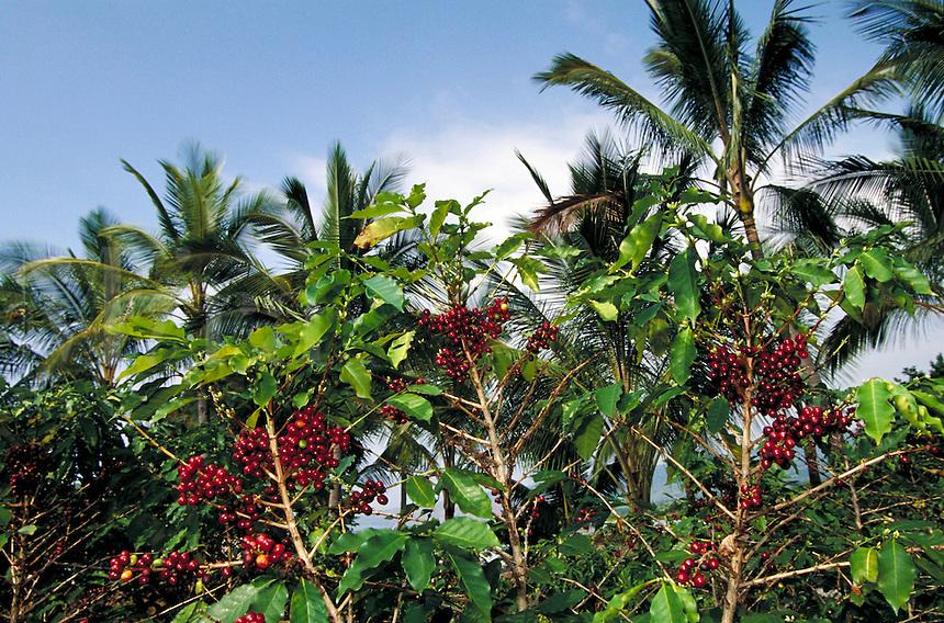Ripe Kona coffee cherries on coffee trees; Bayview Farm; Honaunau, Hawaii. Kailua-Kona Hawaii USA Big Island.