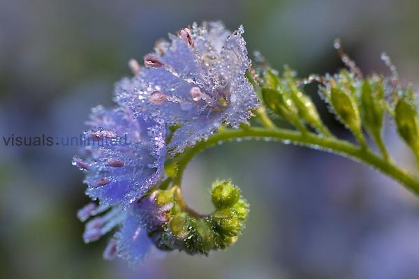Dew covered Fringed Phacelia Flowers.