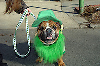 A bulldog dressed as a leprechaun in the Ninth Annual Sunnyside, Queens Saint Patrick's Day Parade. Started as an alternative to the NYC parade which barred gays and lesbians, the all-inclusive parade welcomes many different groups and embraces NYC diversity.