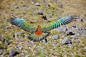 Kea parrot, Fiordland, New Zealand