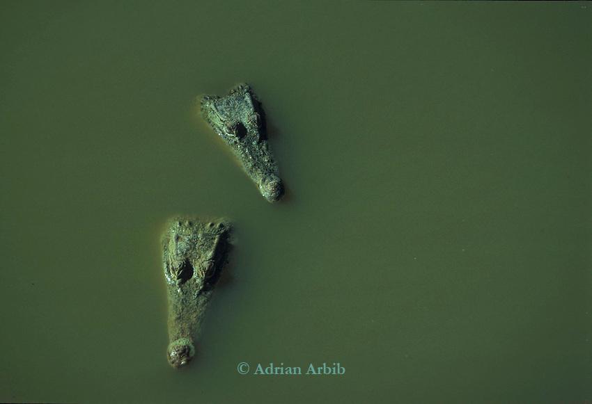 Crocodiles farmed for skin on a  farm in West Papua New Guinea...