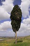 T-126 Cypress tree at Tel Gezer