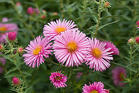 Aster novae-angliae 'Harrington's Pink'  AGM, native American wildflower, New England Aster, very hardy and disease resistant perennial flower
