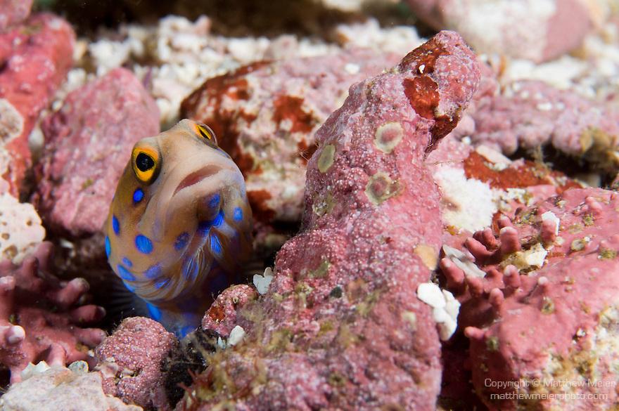 Sea of Cortez, Baja California, Mexico; a Bluespotted Jawfish (Opistognathus rosenblatti) hiding in it's burrow amongst the rubble on the sea floor