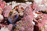 Sea of Cortez, Baja California, Mexico; a Bluespotted Jawfish (Opistognathus rosenblatti) hiding in it's burrow amongst the rubble on the sea floor