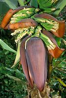 Bananas blooming