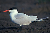 Caspian Tern (Sterna caspia) California, USA