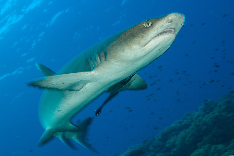 Whitetip reef shark (Triaenodon obesus), full body view, Fathers reefs, Kimbe Bay