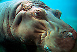 Hippo, Hippoptamus amphibius, underwater, swimming, captive .Africa....