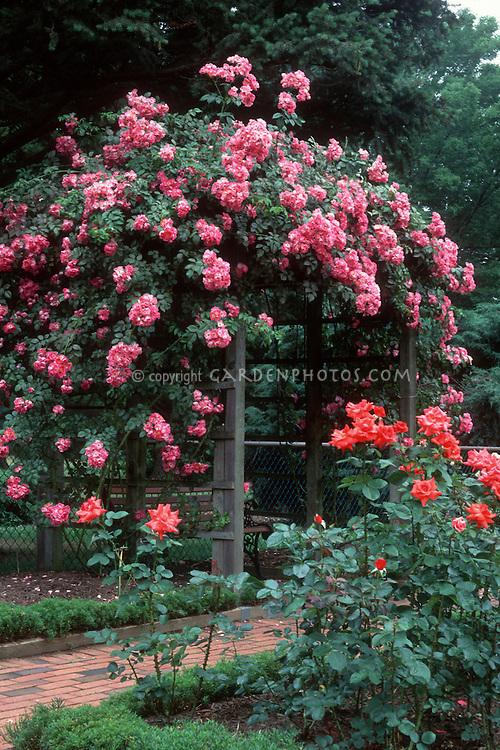 Rosa American Pillar climbing rose over trellis, pink flowers, bench arbor