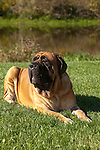 Mastiff<br />