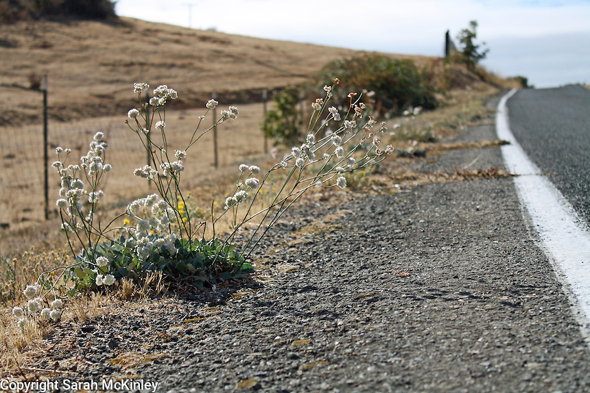 Naked Eriogonum, a flower in bloom in October, grows along Reynold's Highway outside of Willits in Mendocino County in Northern California.