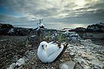 Masked Booby, Isla Espanola, Galapagos Islands, Ecuador