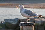 Herring gull in Rockport, MA
