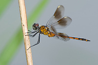 379080004 a wild female or young male four-spotted pennant brachymesia gravida perched on a limb in bentsen rio grande valley state park texas