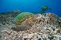 Green Sea Turtles (Chelonia mydas), an endangered species, Hawaii, USA.