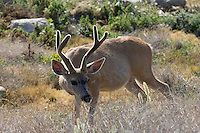 Mule Deer Buck, Pebble Beach CA