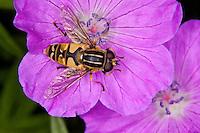Gemeine Sonnenschwebfliege, Sonnen-Schwebfliege, Sumpfschwebfliege, Sumpf-Schwebfliege, Schwebfliege beim Blütenbesuch, Nektarsuche, Blütenbestäubung, Helophilus pendulus