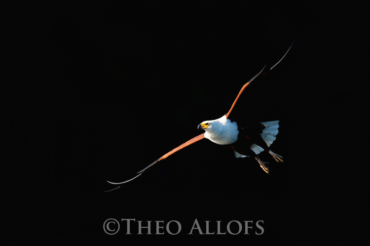 Botswana, Okavango Delta, African fish eagle in flight (Haliaeetus vocifer)