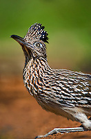 576010019 a wild adult greater roadrunner geococcyx californianus sits by a small pond drinking and watching its environment in the rio grande valley of south texas