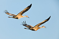 Sandhill Cranes (Grus canadensis) in flight heading inland after a day of foraging on the Susitna Flats State Game Refuge near Beluga in Southcentral Alaska during the spring migration. Evening.